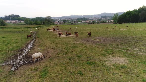 Cover Image for Cows on Farm