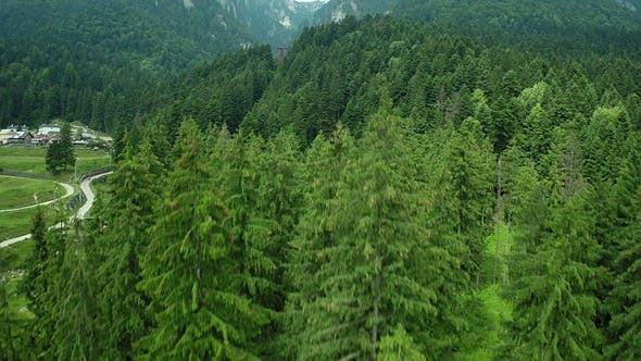 Thumbnail for Flying Over Green Pine Forest