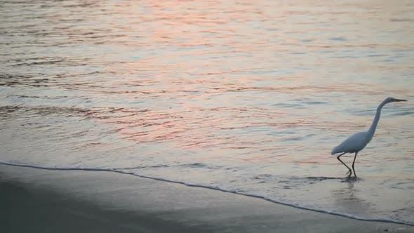 Thumbnail for Great White Egret By The Water's Edge At Sunrise 2