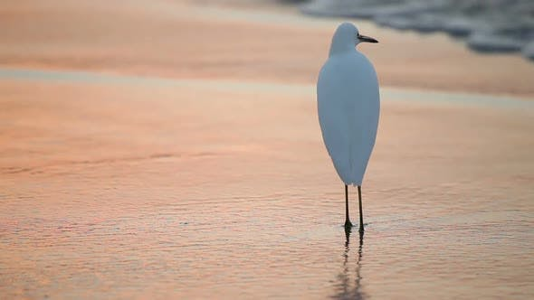 Thumbnail for Great White Egret By The Water's Edge At Sunrise 4