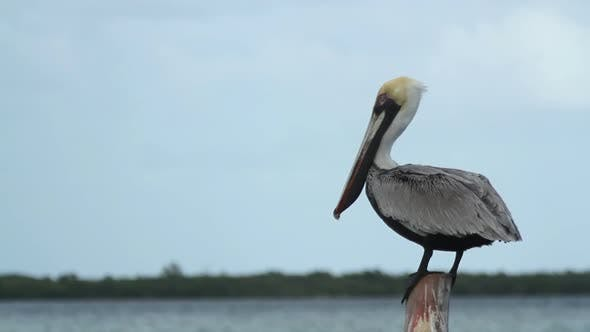 Thumbnail for Brown Pelican Mexico Wildlife 5
