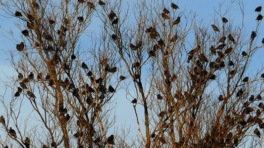 Thumbnail for Flock of Birds Common Blackbird (Turdus merula ) 6