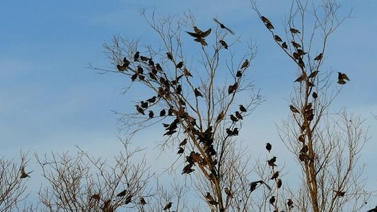 Thumbnail for Flock of Birds Common Blackbird (Turdus merula ) 8