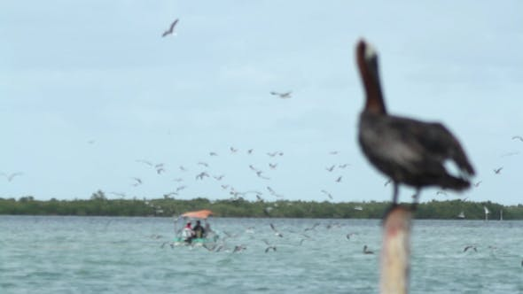 Thumbnail for Brown Pelican Mexico Wildlife 6
