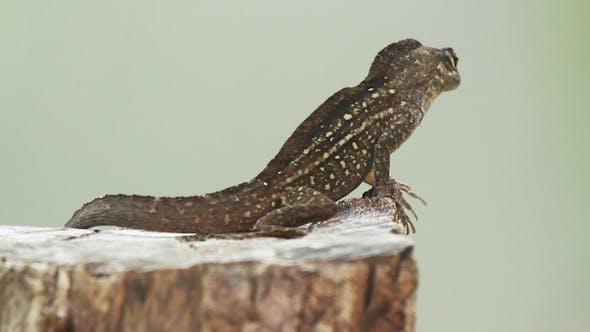 Thumbnail for Lizard Mexico Wildlife 2
