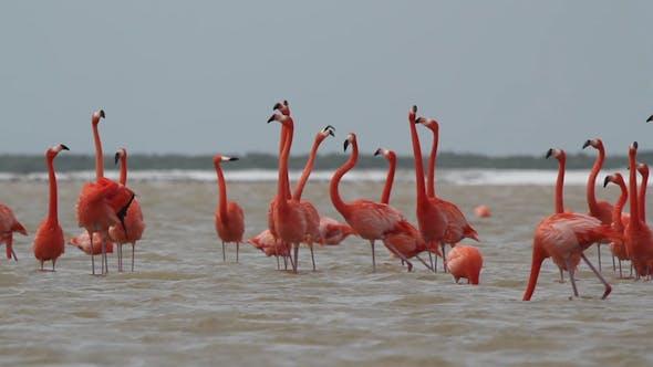 Thumbnail for Pink Flamingos Mexico Wildlife 3