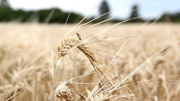 Thumbnail for Single Wheat Stalk Swaying