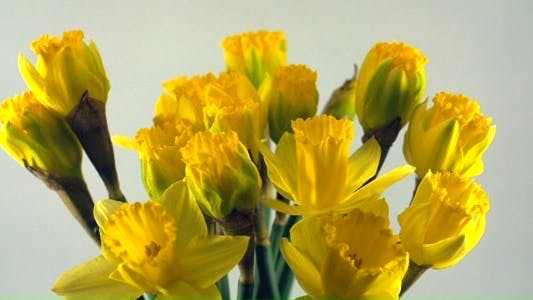 Thumbnail for Opening of Yellow Daffodil Flowers
