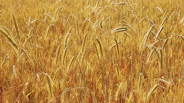 Thumbnail for Yellow Field With Ripe Wheat
