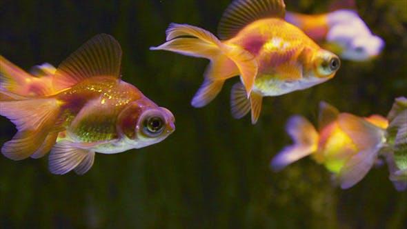 Thumbnail for Many Goldfishes In Aquarium