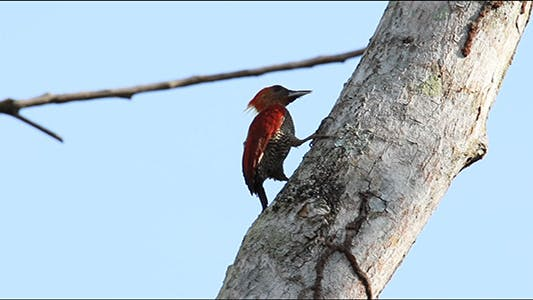 Thumbnail for Banded Woodpecker (Picus Miniaceus) 02 with Sound