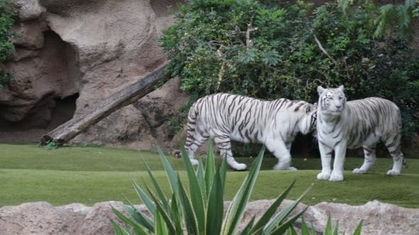 Thumbnail for Two White Tigers In A Play