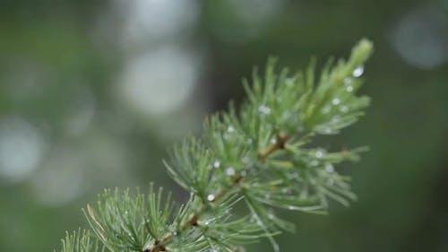Beautiful macro of the larch tree