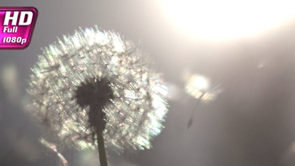 Thumbnail for Dandelion on Sunny Meadow