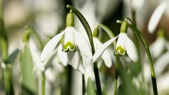 Young Snowdrops Swaying in the Wind