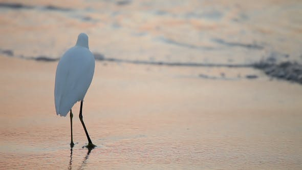 Thumbnail for Great White Egret By The Water's Edge At Sunrise 5