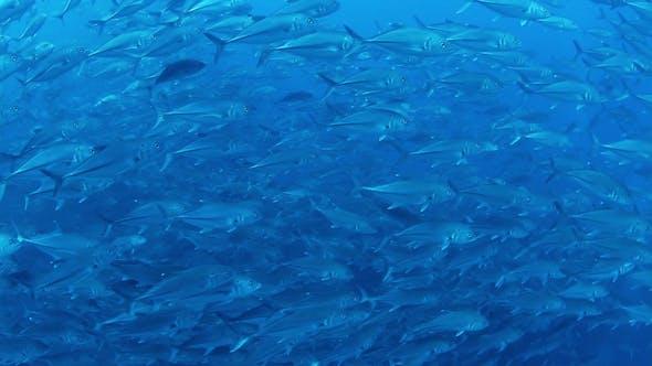 Thumbnail for Fish Mexico Diving Baja California Sur 4