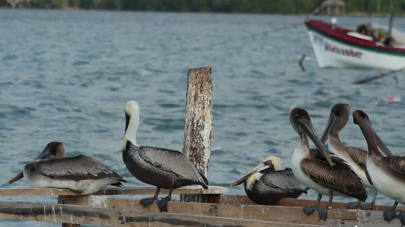 Thumbnail for Brown Pelicans Mexico Wildlife 5