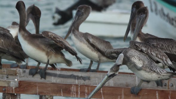 Thumbnail for Brown Pelicans Mexico Wildlife 2