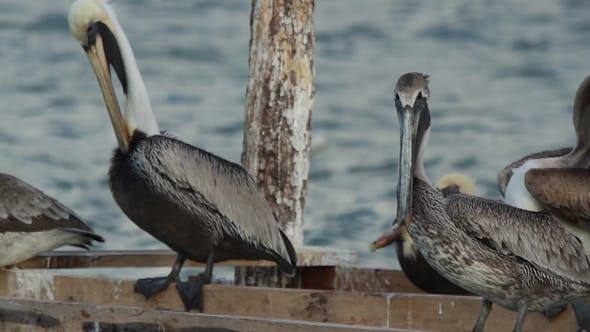 Thumbnail for Brown Pelicans Mexico Wildlife 3