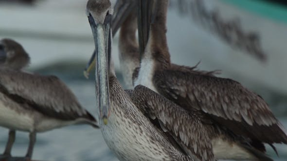 Thumbnail for Brown Pelicans Mexico Wildlife 4