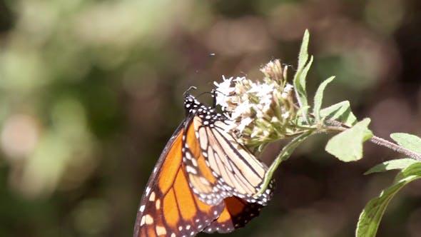 Thumbnail for Monarch Schmetterling Sanctuary Mexiko 17
