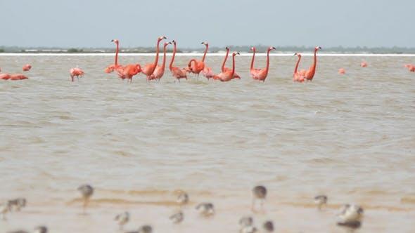 Thumbnail for Pink Flamingos Mexico Wildlife 1