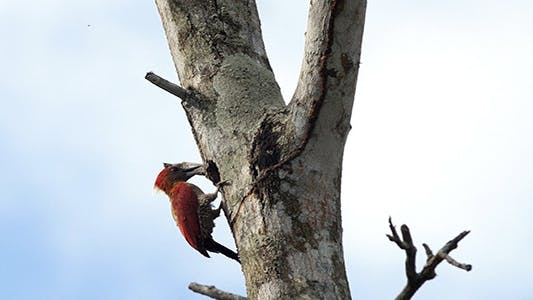 Cover Image for Banded Woodpecker (Picus miniaceus) 03