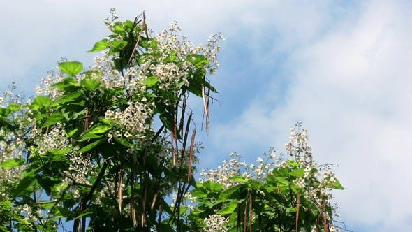 Thumbnail for Catalpa Flower Tree
