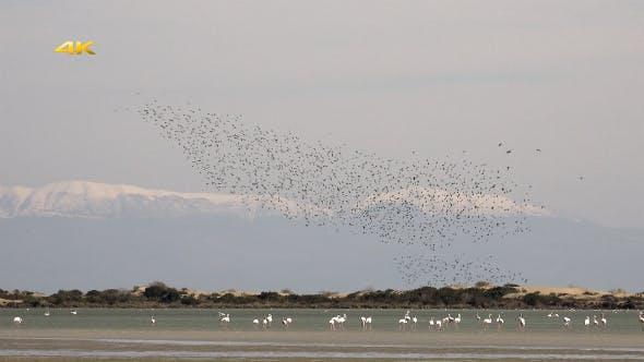 Thumbnail for Murmurations Birds Ballet Dance Swarm Behaviour