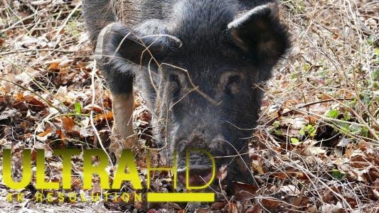 Thumbnail for Wild Pig 1