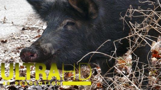 Thumbnail for Wild Pig 2