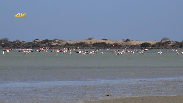 Thumbnail for Real Wild Flamingo in Natural Environment 4