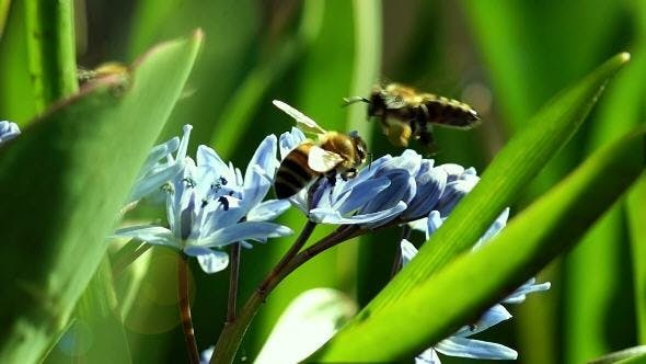 Thumbnail for Several Bees Pollinate Spring Young Flowers