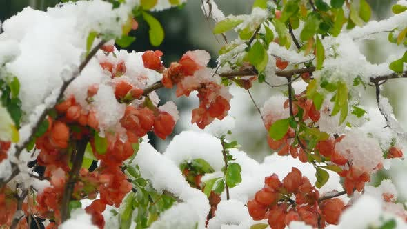 Thumbnail for Little Red Flowers Freeze under the Snow