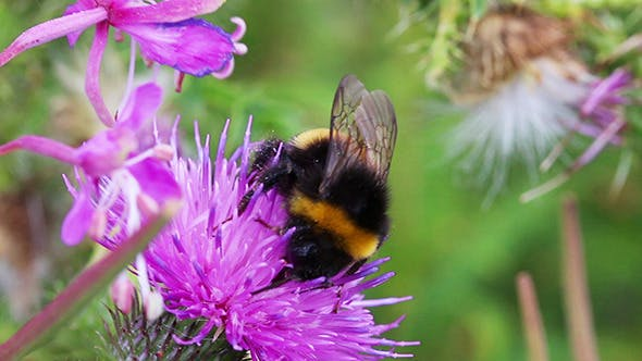 Thumbnail for Bumble-Bee On Thistle Flower