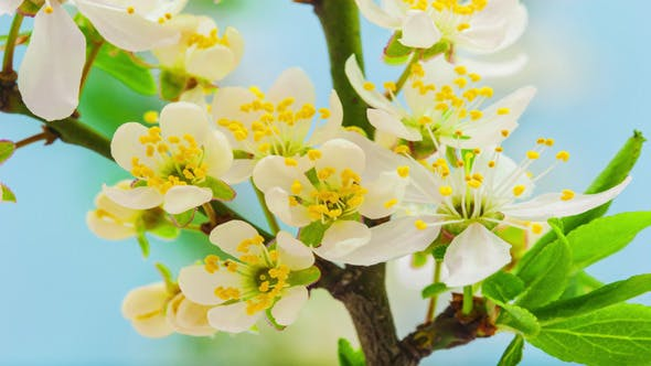 Thumbnail for Wild Plum Flower Blossoming 2