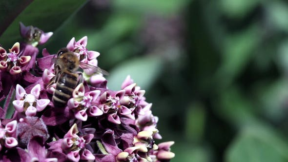 Bee On a Tobacco Plant