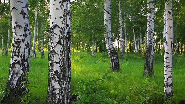 Thumbnail for Summer Birch Forest In Russia