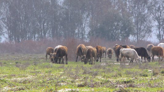 Thumbnail for Cows in Nature