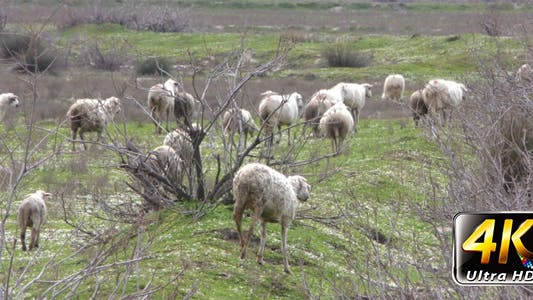 Thumbnail for Sheep in Nature Field 2