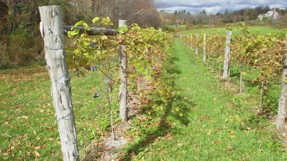 Thumbnail for Figs Sprouting In A Vineyard (3 Of 4)