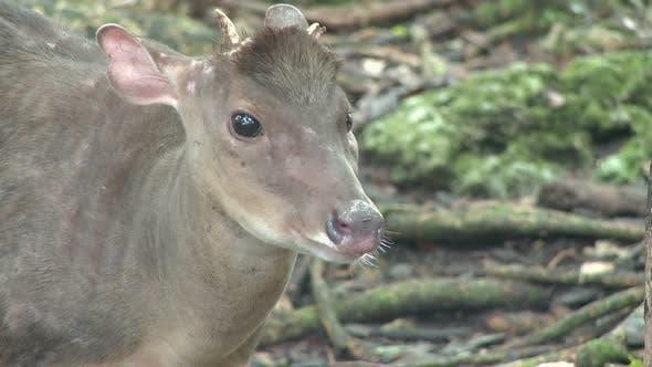 Thumbnail for Red Brocket Deer (1 Of 3)