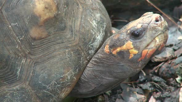 Thumbnail for Red-Footed Tortoise (1 Of 2)