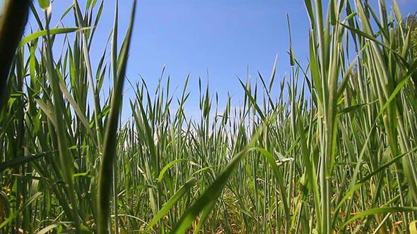 Thumbnail for Green Wheat