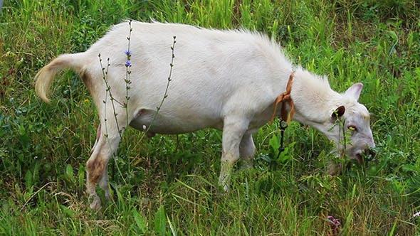 Thumbnail for Grazing White Goat