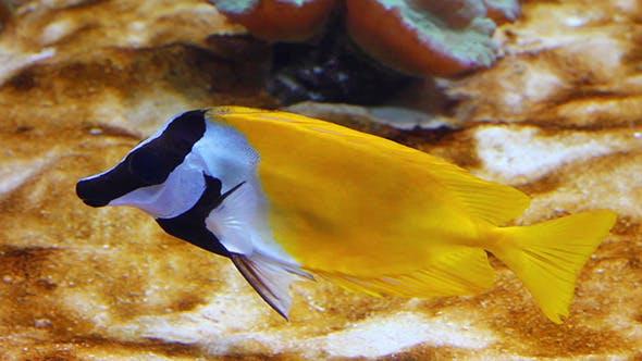 Thumbnail for Yellow Rabbitfish
