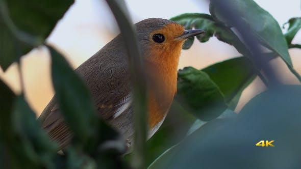 Thumbnail for Natural Animal Little Bird Robin