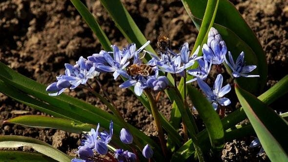 Several Bees Pollinate Spring Young Flowers