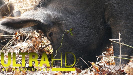 Thumbnail for Wild Pigs with his Mother 6